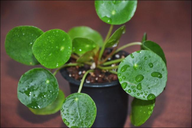 Name:  Pilea Peperomioides (5).jpg