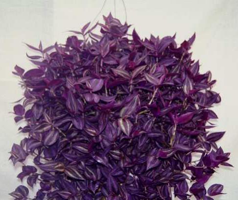 комнатные растения фото и названия бегония