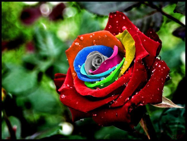 http://www.agaclar.net/forum/attachments/fidan-ve-fide-bitki-uretim-tohum-cimlenme-celik-asi/248952d1317415964-rainbow-rose21.jpg