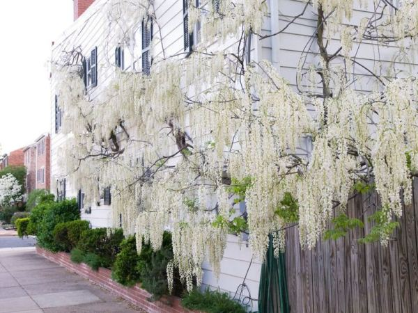 Name:  wisteria-sinensis-alba-81-p.jpg Views: 16293 Size:  68.6 KB
