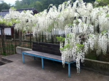 Name:  white_wisteria___shiroi_fuji___japanese_temple__by_smallsmiles-d5av50u.jpg Views: 3695 Size:  53.4 KB