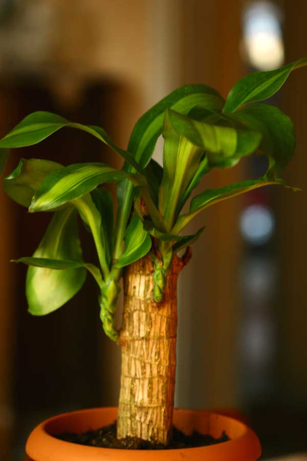 Name:  Dracaena_fragrans_massangea.jpg