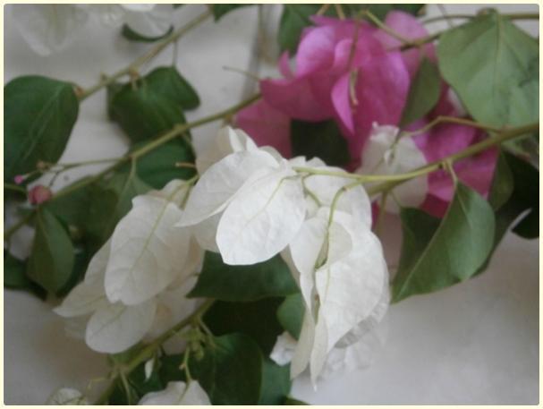 Name:  Pembe-Beyaz Çiçekli Begonvil.jpg Views: 773 Size:  27.8 KB