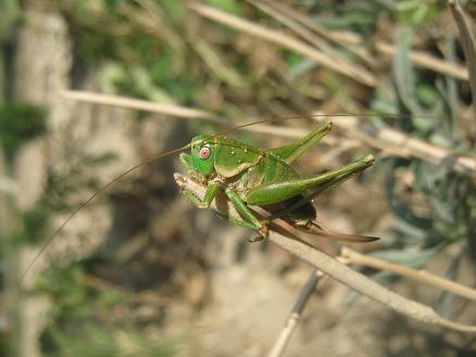Name:  böcek-adı nedir.JPG Views: 2823 Size:  35.2 KB