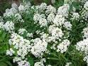 Name:  Alisyum bitkiler(Kokulu Ballıca).jpg Views: 365 Size:  5.3 KB