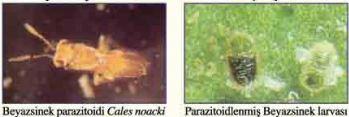 Name:  beyazsinek parazit.JPG Views: 7801 Size:  17.3 KB