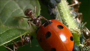 Name:  ant_v_ladybird.jpg Views: 6535 Size:  13.9 KB