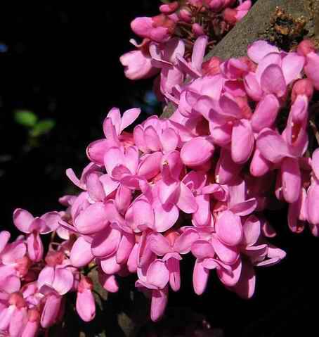 Name:  568px-Cercis_Siliquastrum_blossom_closeup.jpg Views: 29892 Size:  22.8 KB