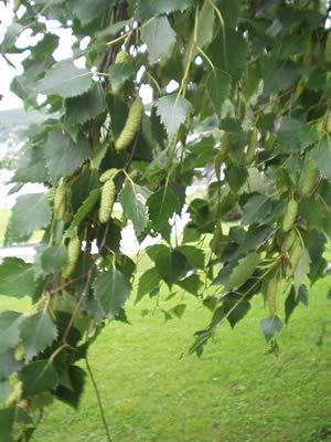Name:  betula-pendula- yaprakları.jpg Views: 45242 Size:  30.0 KB
