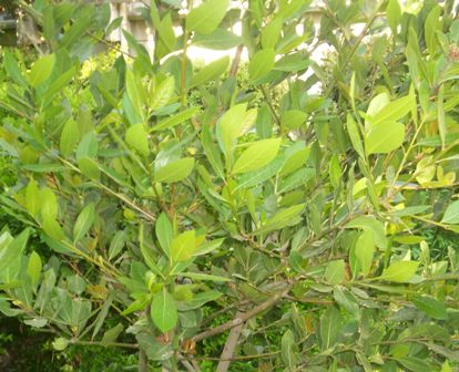 Name:  Laurus_nobilis.JPG