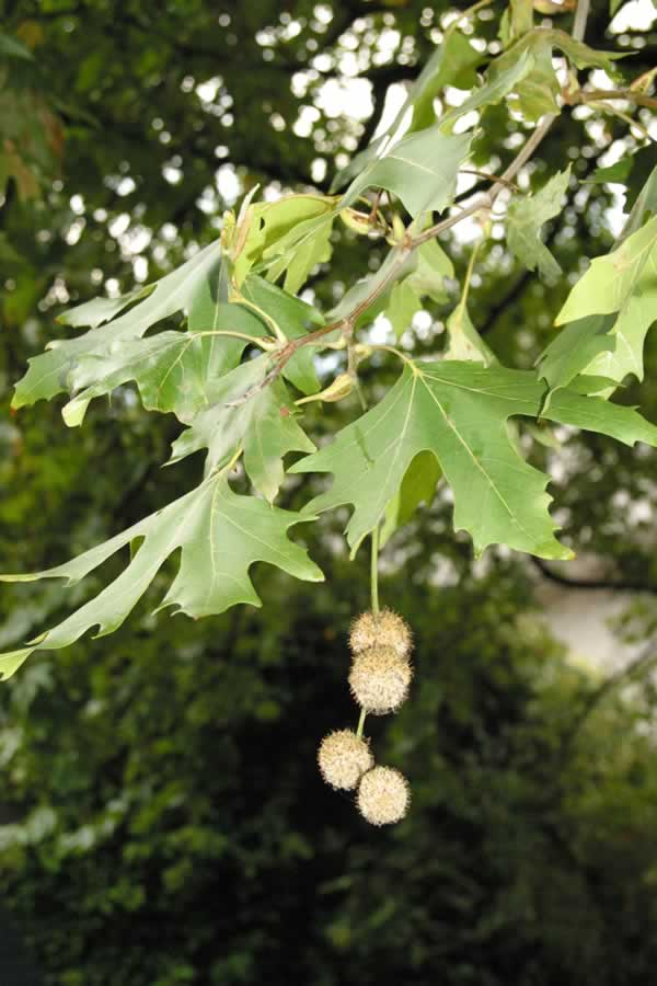 Name:  Platanus%20orientalis%20rcp3-Oct05.jpg