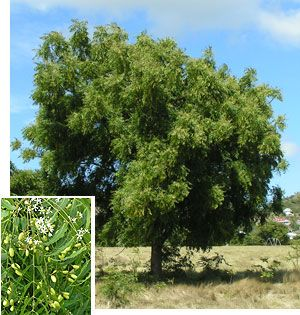Name:  neem_tree.jpg