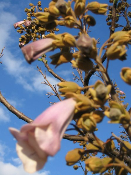 Name:  Paulownia 003.jpg