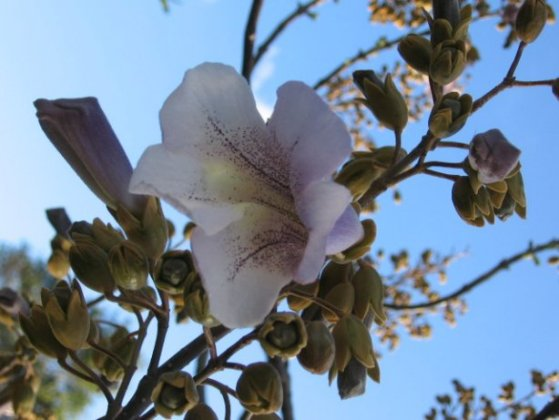 Name:  Paulownia 004.jpg