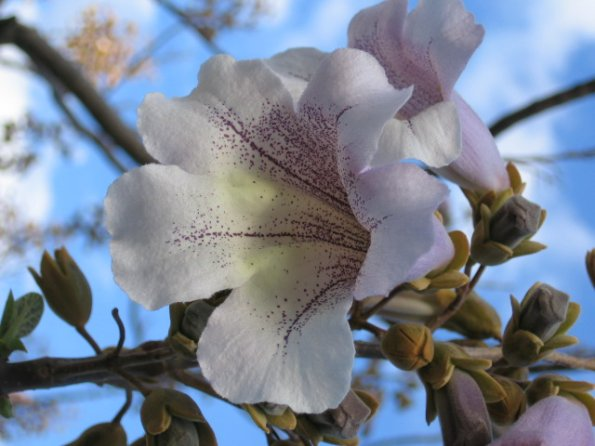 Name:  Paulownia 002.jpg