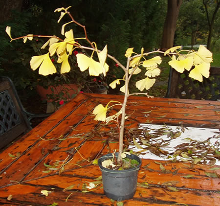 Ginkgo biloba (Mabet ağacı) - agaclar.net