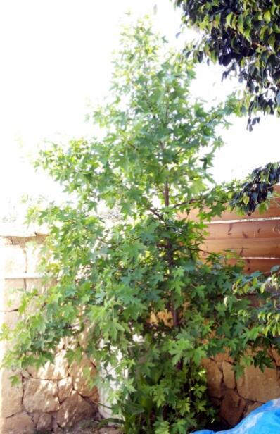 Name:  Liquidambar orientalis-Cyprus.jpg Views: 885 Size:  51.8 KB