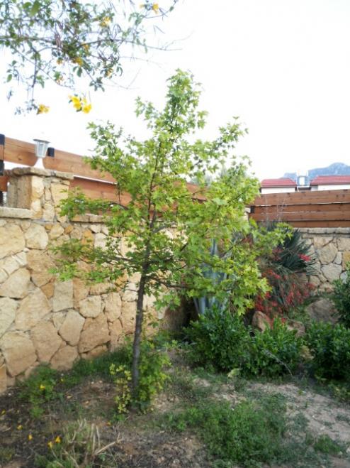 Name:  Liquidambar orientalis-Kyrenia.jpg Views: 533 Size:  63.7 KB