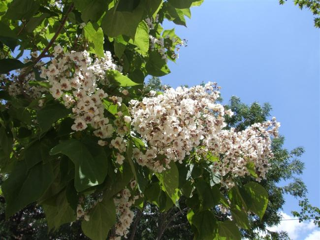 Name:  Catalpa bignonioides 1.jpg