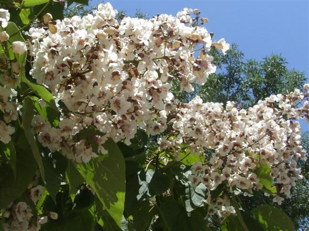 Name:  Catalpa bignonioides 2.jpg