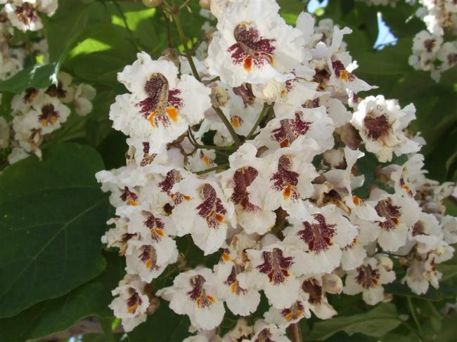 Name:  Catalpa bignonioides DSCF8128.jpg