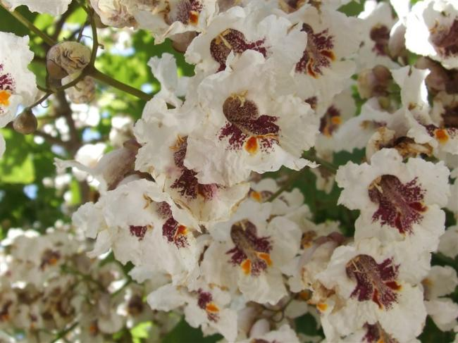 Name:  Catalpa bignonioides.jpg