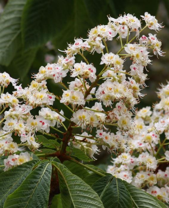 Name:  Aesculus hippocastanum.jpg