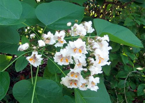 Name:  catalpa1.jpg