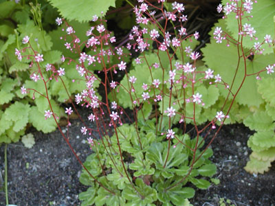 Name:  saxifraga%20umbrosa%20'Clarence%20Elliot'.JPG