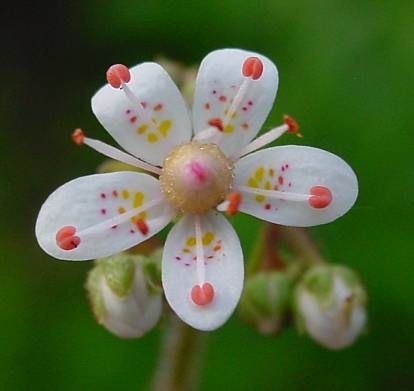Name:  leo-mic-Saxifraga-umbrosa-419.jpg