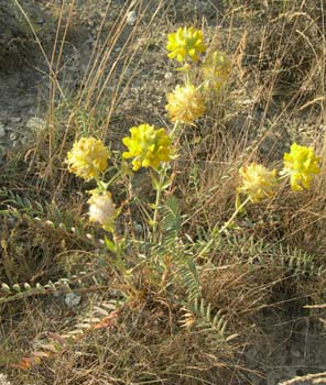 Name:  Astragalus macrocephalus.jpg
