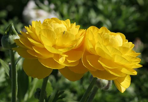 Name:  Ranunculus-asiaticus-flower.jpg Views: 6430 Size:  65.6 KB