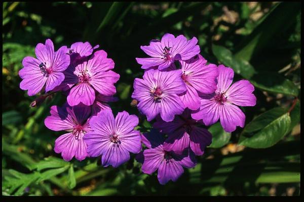 Name:  Geranium tuberosum.jpg Views: 2359 Size:  43.9 KB