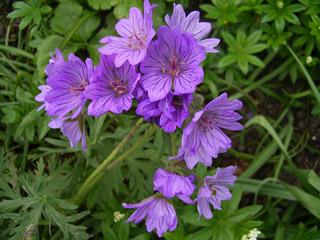 Name:  geranium_tuberosum1.jpg Views: 2863 Size:  37.6 KB