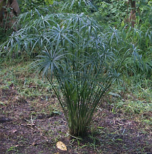 Name:  cyperus_alternifolius.jpg