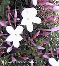 Name:  polianthum.jpg Views: 2893 Size:  18.3 KB