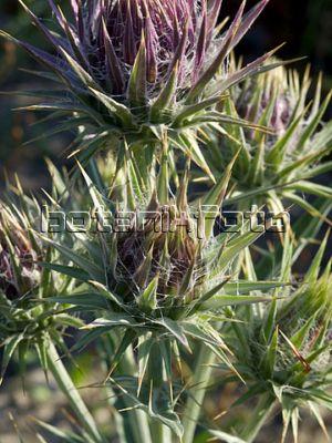 Name:  Ptilostemon afer1.jpg Views: 509 Size:  38.0 KB