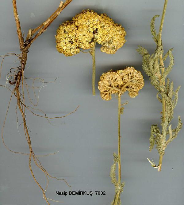 Name:  Achillea-coarctata-POIR.jpg Views: 1320 Size:  53.5 KB