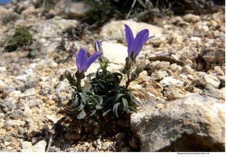 Name:  C.damboltiana.jpg Views: 880 Size:  39.4 KB