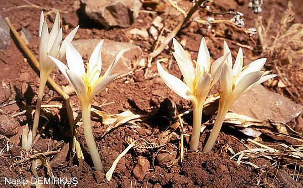Name:  Colchicum%20kotschyi.jpg