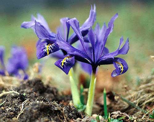 Name:  Iris.histrioides.SH.jpg Views: 1007 Size:  54.8 KB