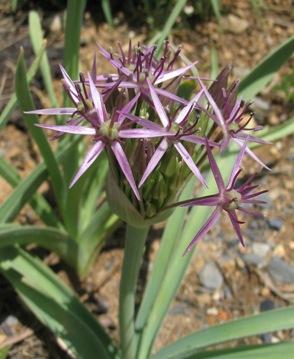 Name:  AlliumCristophii050520a.jpg Views: 1294 Size:  43.6 KB