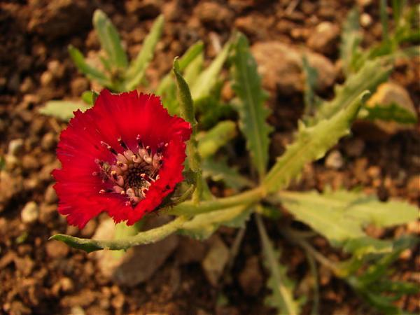 Name:  800px-Centaurea_tchihatcheffii_yanardoner_sevgi_05668.jpg Views: 2048 Size:  38.5 KB