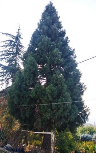 Name:  sequoiabüyükyeniköy.jpg Views: 41 Size:  29.0 KB