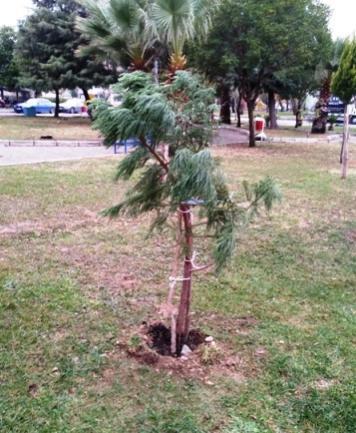 Name:  sequoiagaziemir2.jpg Views: 42 Size:  38.2 KB