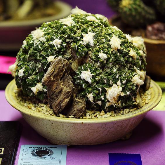 Name:  Ariocarpus fissuratus, Best Ariocarpus, William M.jpg Views: 3543 Size:  72.7 KB