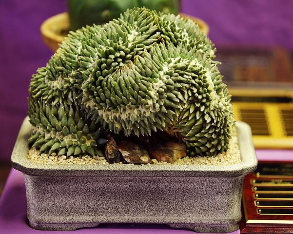 Name:  Ariocarpus retusus, Best Crest, Willaim M.jpg Views: 3498 Size:  71.7 KB