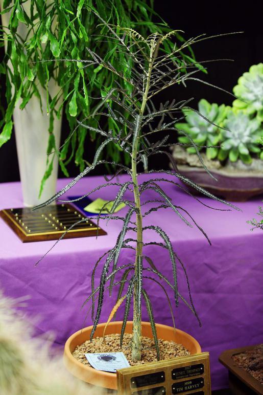 Name:  Boswelia elongata, Rarest succulent, Joe S.jpg Views: 3528 Size:  78.2 KB