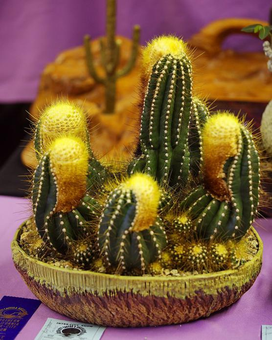 Name:  Buningia brevicyllindrica, Best Open Cactus, William M.jpg Views: 4558 Size:  74.1 KB