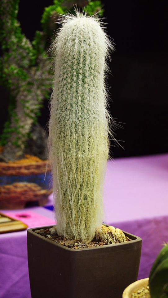 Name:  Cephalocereus senilis, Best Cereus, Karen O.jpg
